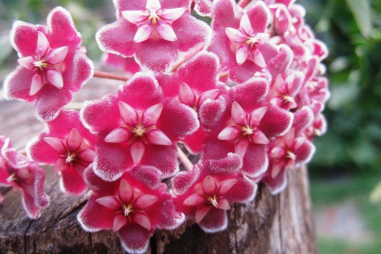 Ilustrasi bunga hoya.