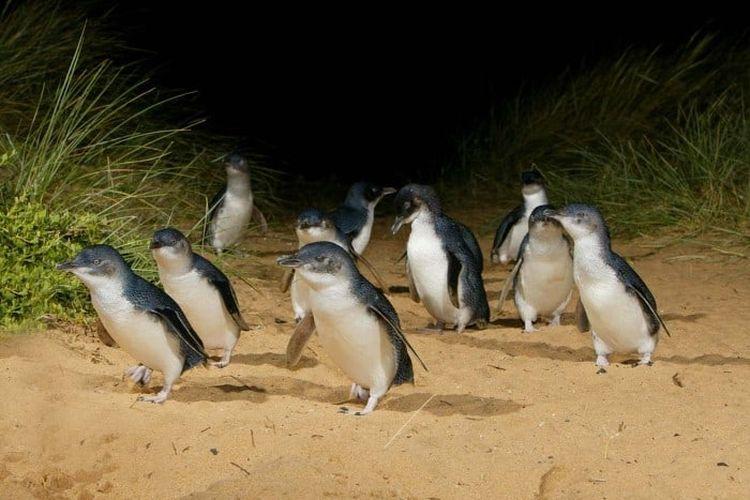 Tempat wisata di Phillip Island, Australia.