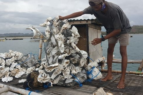 Kiara Minta Menteri Pengganti Edhy Prabowo Cabut Aturan Ekspor Benih Lobster