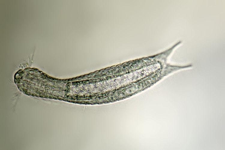 Lepidodermella squamata, salah satu spesies gastrotrich