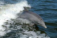 Satu Lumba-lumba Mati di Kolam Hotel, BKSDA Bali Relokasi 4 Lainnya