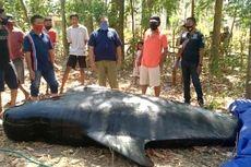 Nelayan di Sikka Temukan Paus Pilot Mati, di Mulutnya Tersangkut Ikan