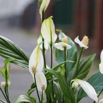 Ilustrasi tanaman hias peace lily.