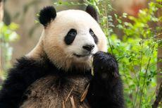 Panda, Hewan Herbivora dari China yang Bertaring Tajam