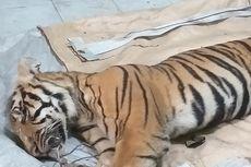 Harimau Sumatera Mati Terjerat Tali Sling di Hutan Konsesi Riau