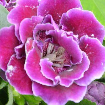 Descripción floral de Cloxinia.