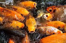 Peluang Usaha Menjanjikan, Ini Tips Budidaya Ikan Koi ala Himakua Unair