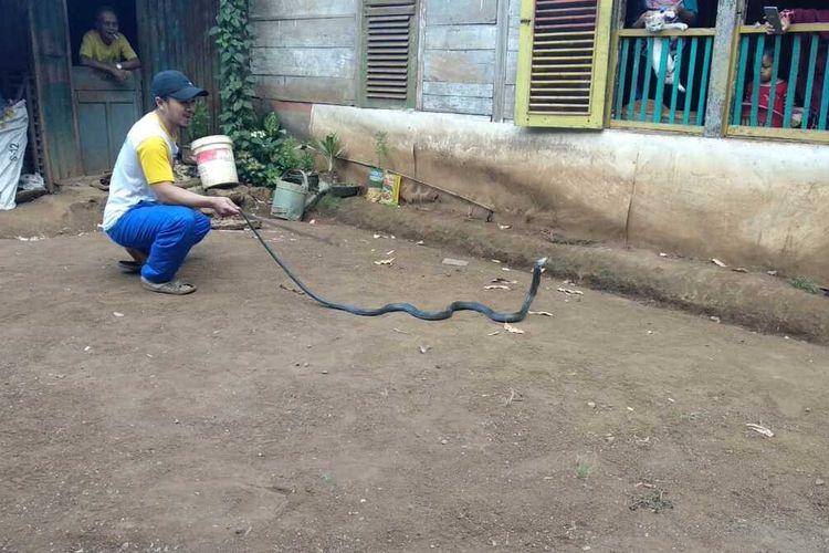 Asis (28) tengah memperlihatkan ular jenis King Kobra yang berhasil ditangkap diperkebunan Desa Mammampang, Kecamatan Tombolopao, Kabupaten Gowa, Sulawesi Selatan. Rabu, (18/12/2019).