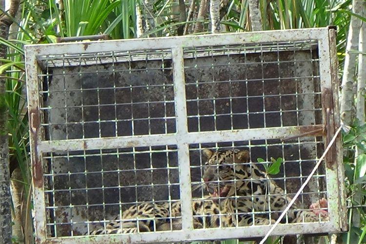 Terjebak Di Hutan Rehabilitasi Seekor Macan Dahan Ditemukan Di Pangkalan Bun Halaman All Kompas Com