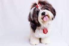 6 Ras Anjing Imut yang Bisa Dipelihara di Apartemen