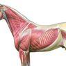 Jaringan Epitelum, Ikat, Otot dan Saraf pada Vertebrata