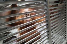 Bayi Orangutan Selundupan Warga Rusia, Bonbon, Kembali ke Habitat Aslinya