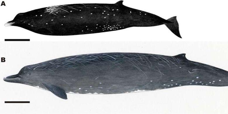 Perbandingan paus paruh Baird hitam dan abu-abu. Gambar (A) Berardius minimus, dan (B) B. bairdii. Balok hitam menunjukkan 1 meter. Secara umum, B. minimus menyerupai B. bairdii kecil dengan paruh yang proporsional lebih pendek dan lebih berbentuk spindle.