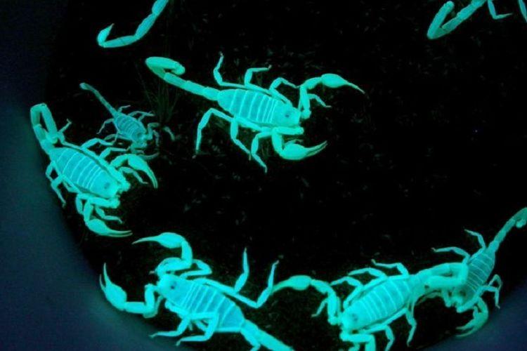 Kalajengking mampu bersinar dengan memantulkan ultraviolet.
