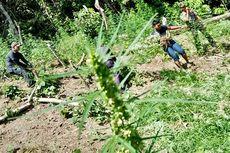 Ladangnya Ditemukan di Pegunungan, Ribuan Batang Ganja Dimusnahkan Polres Aceh Besar