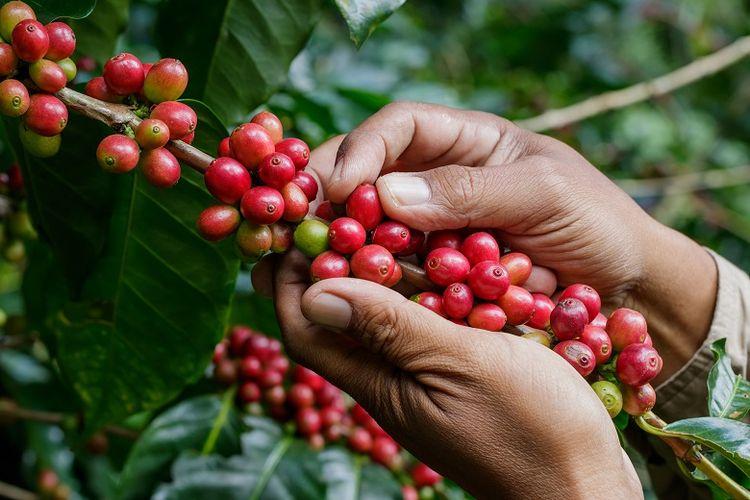 Ilustrasi perkebunan kopi