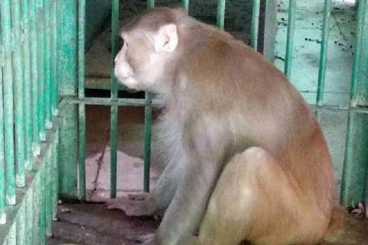 Inilah Kalua, seekor monyet pemabuk setelah dimasukkan dalam kurungan. Dia ditangkap karena membunuh satu orang dan melukai 250 lainnya karena mirasnya habis.