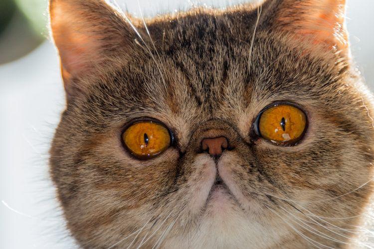 Ilustrasi kucing Persia.