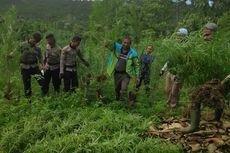 Berawal dari Cinta Istri ke Suami, Polisi Temukan 5 Hektar Ladang Ganja di Aceh Utara