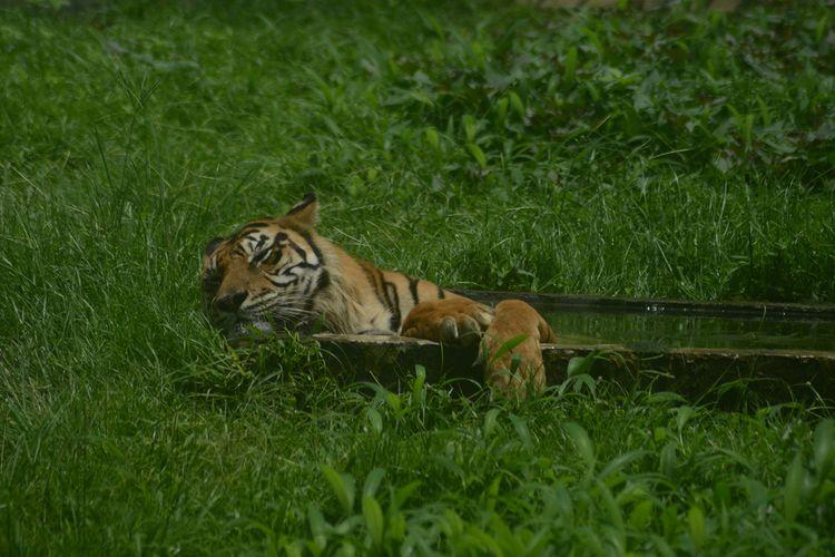 Seekor harimau sumatera berendam di kolam di kandangnya di Kebun Binatang Medan (Medan Zoo), Sabtu, 27 Februari 2016. Sejak penutupan, Medan Zoo kini menggalang koin donasi untuk kebutuhan makanan satwa.