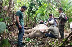 Gajah Liar Luka Terjerat Jaring di Aceh, Pengobatan Terkendala Medan