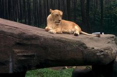 Momen Langka, Lihat Parade Gajah Hingga Unta di Taman Safari Prigen