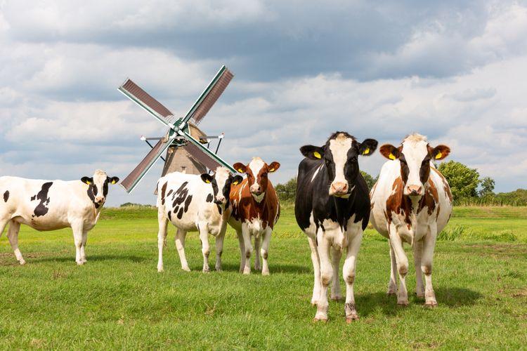 Ilustrasi peternakan sapi di Belanda.