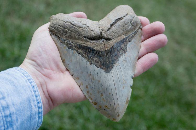 Seorang pria menggenggam gigi Megalodon yang memiliki panjang sekitar 6 inci, predator hiu purba yang memiliki gigi besar. Gigi Megalodon bisa tumbuh sampai 7 inci, atau setara dengan sebuah pisang.