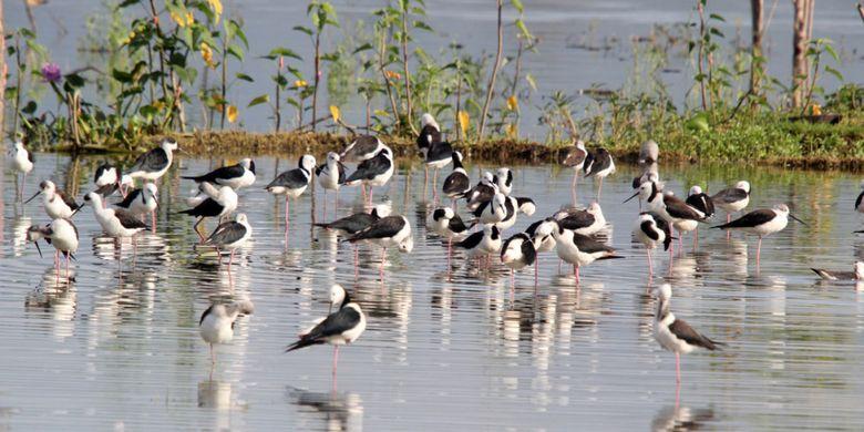 Sejumlah burung Gagang Bayam di Danau Limboto