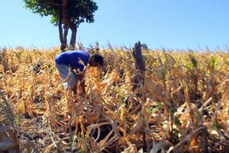 Kekeringan yang melanda ladang jagung di Parepare, Sulawesi Selatan.
