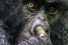 Seekor Gorila Tertangkap Kamera Sedang Asyik