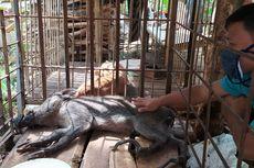 Heboh Temuan Babi Hutan Berkaki Aneh di Banyumas, Enggan Makanan Mentah, Minumnya Teh atau Kopi