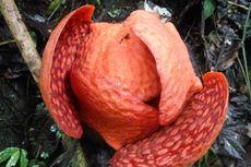 Bunga Rafflesia Terbesar di Dunia Akan Mekar di Agam, Tepat 1 Januari 2020