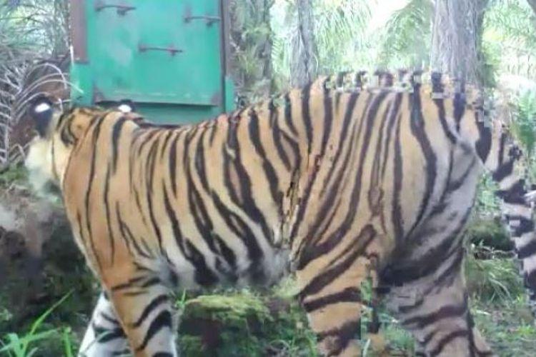 Harimau Sumatera yang diberi nama Bonita tertangkap dalam kamera yang dipasang petugas BBKSDA Riau. Sudah 3 bulan berselang sejak menewaskan seorang warga, harimau ini belum juga tertangkap.