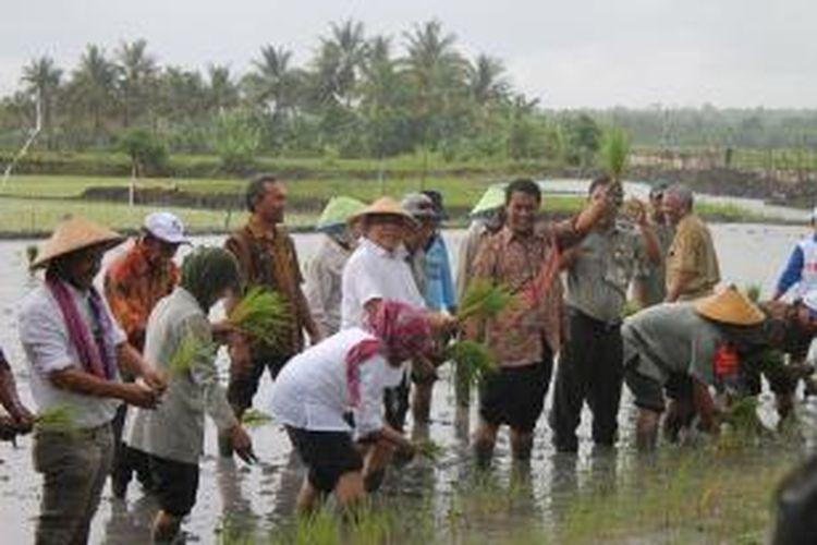 Menteri Pertanian Andi Amran Sulaiman(mengenakan batik sambil mengangkat tangan kiri dan memegang padi) saat melakukan tanam padi bersama sejumlah pejabat di Provinsi NTT, Kamis (5/2/2015)