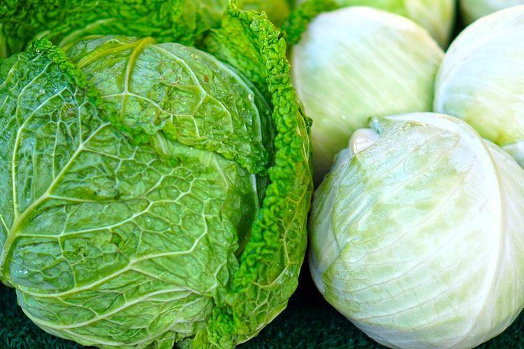 ilustrasi cabbage atau sayur kol.