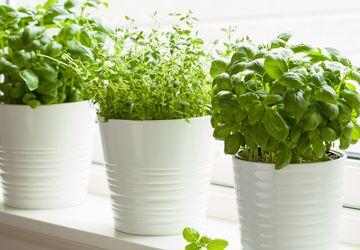 6 Tanaman Herbal yang Dapat Membersihkan Rumah