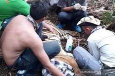 Cerita Corina Harimau Sumatera yang Dievakusi Saat Wabah Corona, Petugas 2 Jam Tembus Hutan