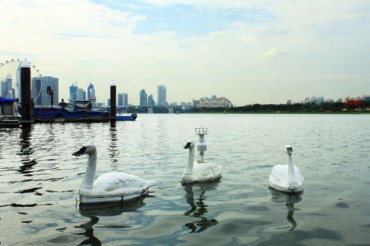 Robot angsa Swan sedang berenang di sebuah waduk di Singapura untuk memantau kualitas pasokan air.