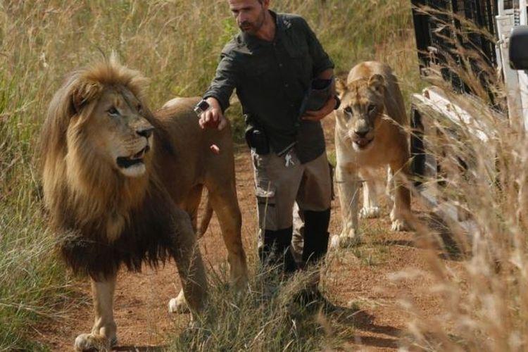 Kevin Richardson, yang dikenal sebagai The Lion Whisperer, membawa dua singanya untuk berjalan-jalan di Dinokeng Game Reserve, dekat Pretoria, Afrika Selatan. Foto ini diambil pada 15 Maret 2017. (AP Photo)