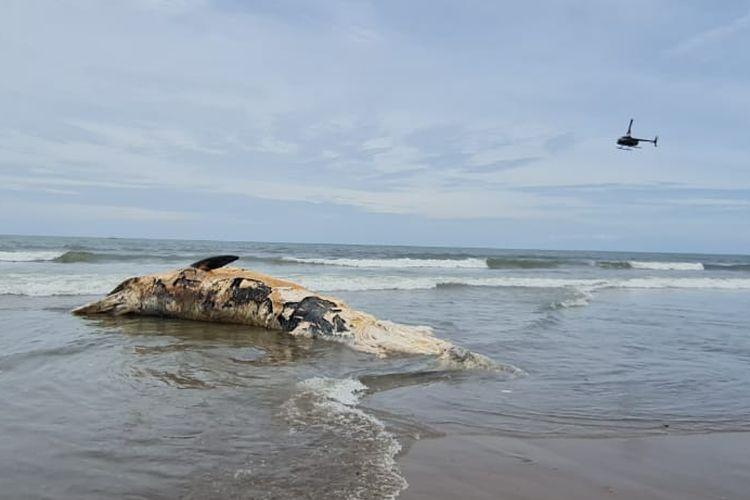 Bangkai paus jenis bryde whale terdampar di Pantai Batu Belig, Kerobokan, kecamatan Kuta Utara, Badung, Bali, pada Kamis (21/1/2021) pagi.