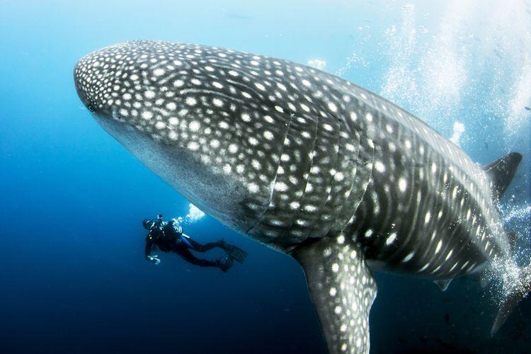 Ilustrasi hiu paus betina