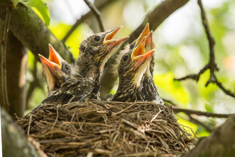 Ilustrasi burung baru menetas.