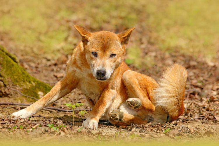 Anjing Penyanyi Papua (New Guinea singing dog) Canis dingo hallstromi, ilmuwan menemukan bukti spesies anjing unik ini masih ada di pedalaman Papua.
