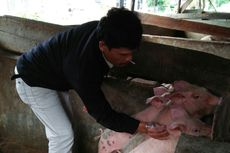 Ramai soal Hog Cholera di Sumut, Apa Itu?