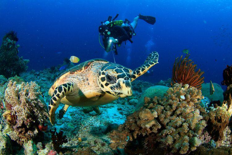 Diving menikmati pemandangan alam bawah laut di Raja Ampat.