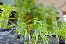 Fakta Adik Mantan Wali Kota Tanam 45 Pohon Ganja di Polybag untuk Penelitian Pupuk Organik dan Konsumsi Pribadi