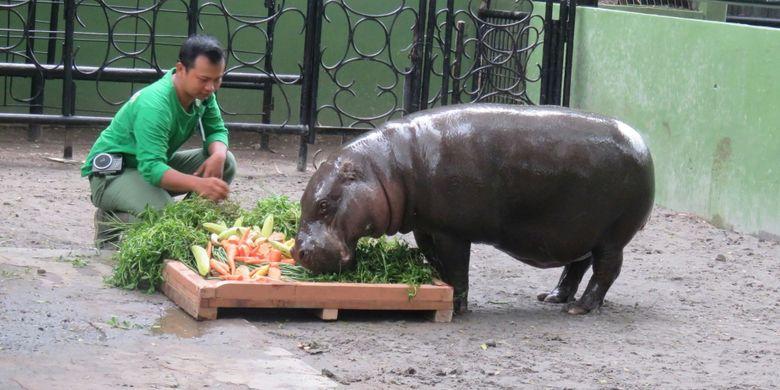 Makanan istimewa untuk Devi si Kudanil Kerdil Kebun Binatang Surabaya