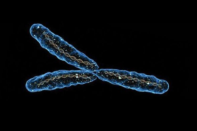 Ilustrasi kromosom Y