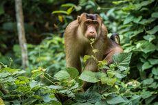 Beruk Ternyata Suka Makan Tikus, Bisa Jadi Agen Pengendali Hama
